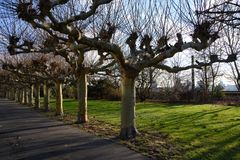 Bare plane trees on Alley near River Rhine in Dusseldorf in winter. Plane trees after loosing the leaves on winter day stock photos