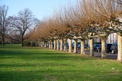Bare plane trees on Alley near River Rhine in Dusseldorf in winter. Plane trees after loosing the leaves on winter day stock photography