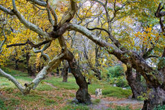 Plane trees. Picture of old plane trees in a forest royalty free stock photos
