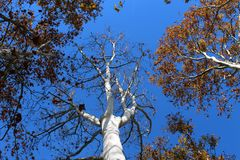 Plane trees seen from below in autumn Stock Photos