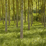 Plane trees. Rows of plane trees in France royalty free stock photography