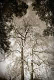 Plane Trees Stock Photography