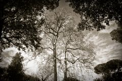 Plane Trees Royalty Free Stock Images