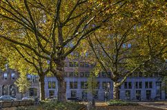 Plane trees in a street in autumn. Group of plane trees in a street in downtown Rotterdam, The Netherlands in autumn stock photos