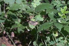 Planeador común La mariposa con las alas rayadas abigarradas en li Imágenes de archivo libres de regalías