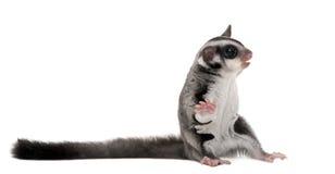 Planeador del azúcar - breviceps del Petaurus Foto de archivo