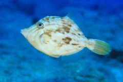 Planehead filefish Στοκ Φωτογραφίες