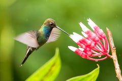 planer hillstar Blanc-coupé la queue à côté de la fleur blanche et rouge, jardin, forêt tropicale, Colombie, oiseau sur le fond c photos libres de droits