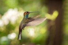 planer hillstar Blanc-coupé la queue dans le ciel, jardin, forêt tropicale, Brésil, oiseau sur le fond clair coloré photographie stock