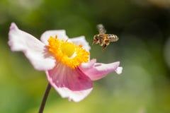 Planer hoverfly près d'une fleur rose et jaune photos libres de droits