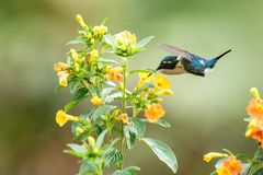 Planer woodstar endémique de Santa Marta à côté des fleurs jaunes dans le jardin, colibri avec les ailes tendues, Colombie, oisea photos libres de droits