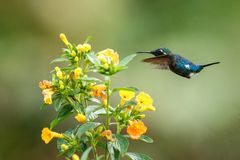 Planer woodstar endémique de Santa Marta à côté des fleurs jaunes dans le jardin, colibri avec les ailes tendues, Colombie, oisea photos stock