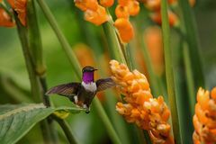 planer woodstar Pourpre-throated à côté de la fleur orange, forêt tropicale, Pérou, oiseau suçant le nectar de la fleur dans le j photos stock