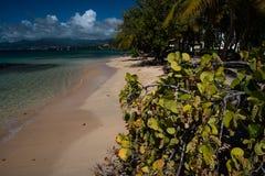 Planes de la uva del mar, playa de la revista, Grenada Fotografía de archivo