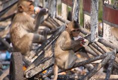 Planet of apes - Large group of monkeys Macaca fascicularis sitting on a railingat railway station in Lopburi, Thailand. Planet of apes - Large group of monkeys stock photos