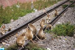 Planet of apes - Large group of monkeys Macaca fascicularis sitting on a railingat railway station in Lopburi, Thailand. Planet of apes - Large group of monkeys royalty free stock photos
