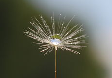 Planet on a feather. Early in the morning it is sometimes possible to see droplets of dew on a tender piece of fluff of a dandelion. A drop of water gives the Stock Image