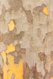 Planetree Bark Background Stock Images