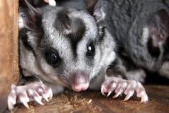 Planeurs d'écureuil dans le pondoir Images libres de droits
