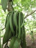 Planifolia βανίλιας μια ορχιδέα αναρρίχησης Στοκ φωτογραφία με δικαίωμα ελεύθερης χρήσης