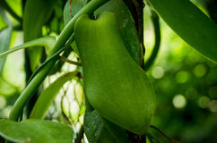 Planifolia de vanille Photos libres de droits