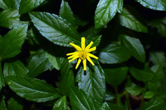 Planifolia de vanille photographie stock