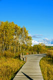plank path and White Birch Royalty Free Stock Images