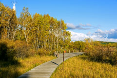plank path and White Birch Stock Photos
