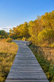 plank path and White Birch Stock Photo