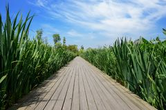 Plank-paved footpath in grass at sunny summer noon. Chengdu,China stock photography