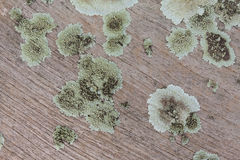 Plank wood with lichen. Close up Royalty Free Stock Image