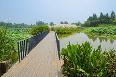 Planked footpath with handrails in lotus pond. A planked footpath in lotus pond on sunny summer day royalty free stock photo