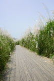 Planked footpath for visitors in reeds on sunny summer day Royalty Free Stock Photography