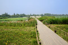 Planked footway across lotus lake in sunny summer Stock Image