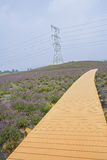 Planked path on hillside planted with flowering lavender Royalty Free Stock Photo