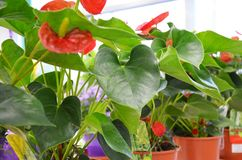 Planken met potten van bloemen Stock Foto