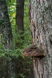 Plankenpaddestoel op levende boom Stock Afbeeldingen