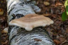 Plankenpaddestoel Steunpaddestoel Fomitopsisbetulina Stock Fotografie