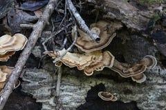 Plankenpaddestoelen stock fotografie