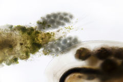 Plankton Stock Image