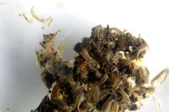 Plankton Lizenzfreie Stockfotografie