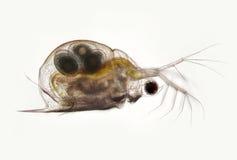Planktonic crustaceans Daphnia probably Daphniidae Scapholebris Mucronata. Freshwater zooplancton by microscope. Transparent body shell of crustacean Daphnia Royalty Free Stock Photos