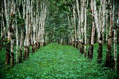 Planned Rubber Forest Royalty Free Stock Photos