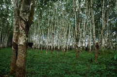 Planned Rubber Forest with Detail Royalty Free Stock Photos