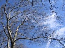 Plano-árbol de Platan Foto de archivo