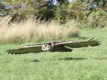 Plano de alas de deslizamiento magnífico del búho de Eagle imágenes de archivo libres de regalías