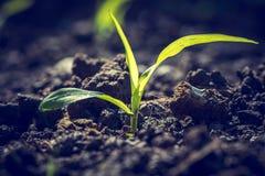Plano do milho novo foto de stock