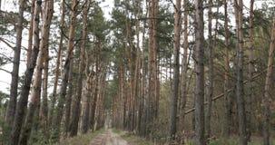 Plano geral da floresta conífera filme