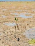 Planos de fango durante la bajamar con el mangle solitario en la bahía Bali de Benoa imágenes de archivo libres de regalías