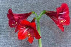 Planos diferentes de Amaryllis da flor fotos de stock